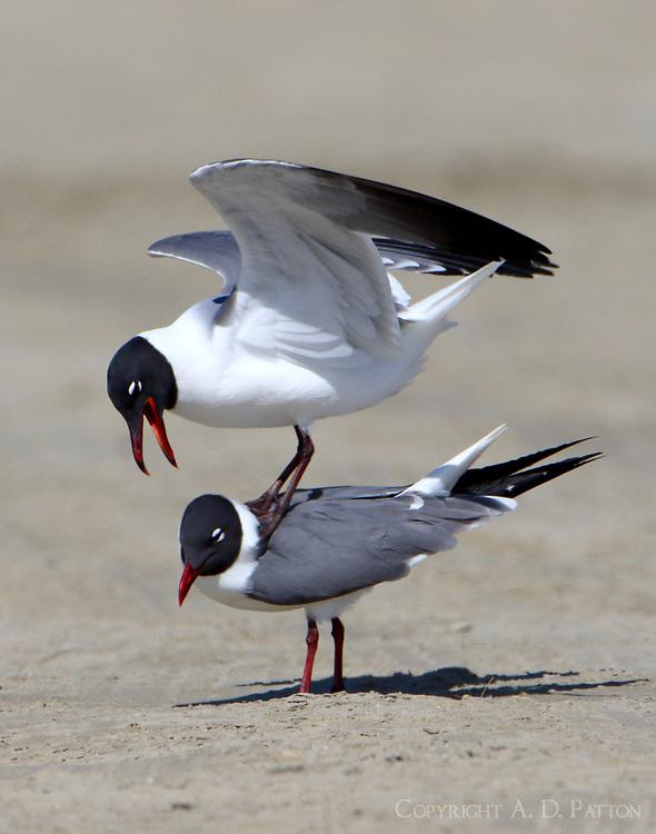 Laughing gulls mating