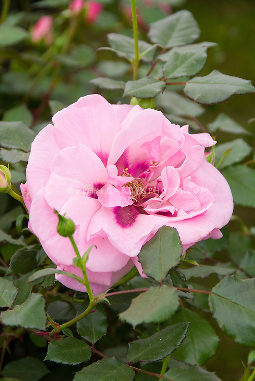 Rosa 'Persian Mystery' aka 'Hartroy' rose, lavender mauve pink with deeper center