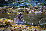 Brown bears feeding at Pavlof Harbor, Chichagof Island, Alaska, USA