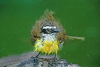 554810017 a wild great kiskadee pitangus sulphuratus rousts or ruffles its feathers after bathing in a  smalll pond on a ranch in the rio grande valley of south texas