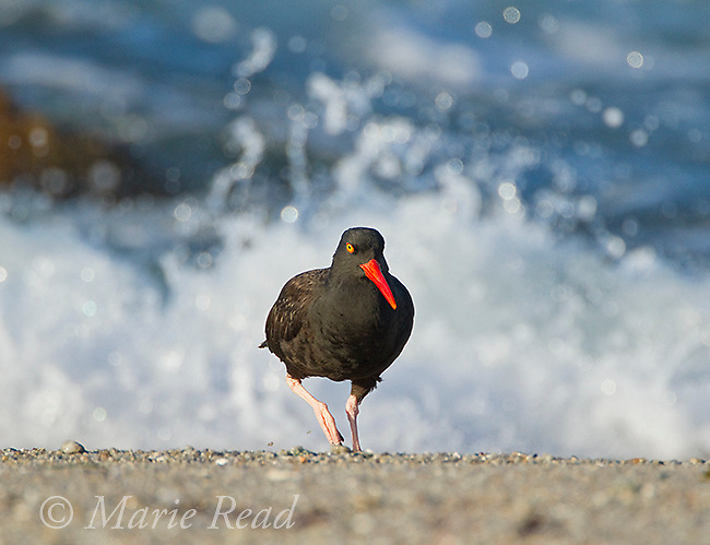 Black Oystercatcher (Haematopus bachmani), Point Pinos, walking away from surf, crashing wave behind, Monterey, California
