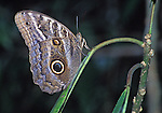 Blue Morph butterfly, taken at night from a outboard motorboat off the Napo River, in the Amazon Basin of Peru.  It is a favorite of Private Collectors who often hire local natives to  catch them.