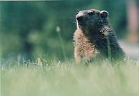 Groundhog, Md.