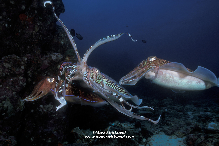 A female Pharaoh Cuttlefish, Sepia pharaonis, reaches into a crevice to deposit eggs while 2 males compete for an opportunity to mate with her. During such courtship rivalries, males display spectacular, rapidly changing color patterns, probably meant to intimidate their rivals. In addition to threatening coloration, the dominant male in this photo has raised its center arms, exposing its parrot-like beak, also meant to discourage the rival male.  Richelieu Rock, Thailand, Andman Sea