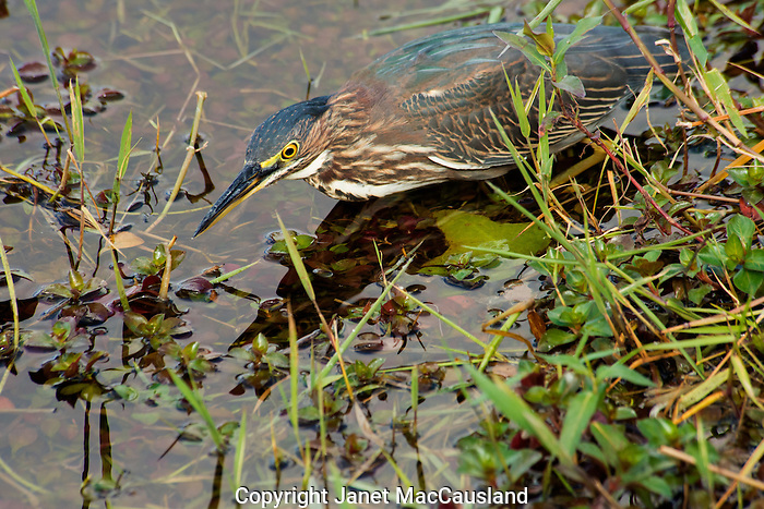 A Green Heron searches for minnows in the Everglades, Florida.