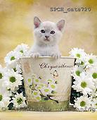 Xavier, ANIMALS, cats, photos, SPCHCATS720,#A# Katzen, gatos