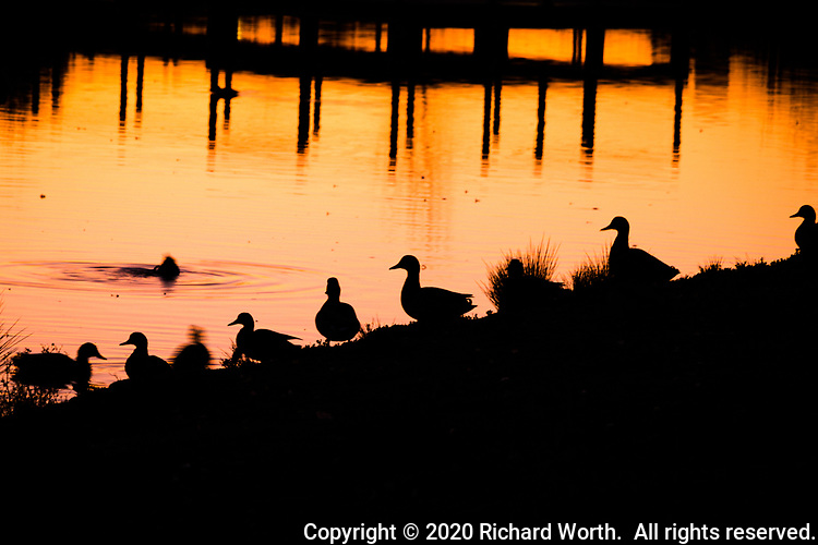 A line of ducks stand in silhouette against a pond glowing in sunset light.