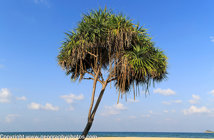 Pandanus palm trees growing on sandy beach, Nilaveli, Trincomalee, Sri Lanka, Asia