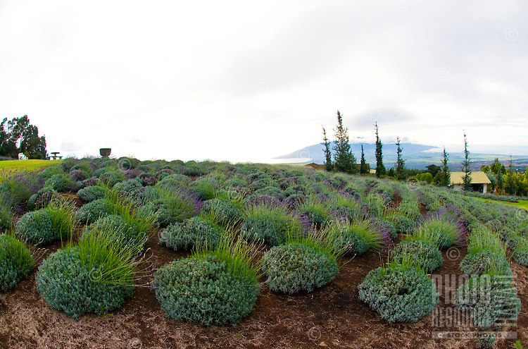 One of the many scenic vistas of Alii Kula Lavender farm at the base of Haleakala, Kula