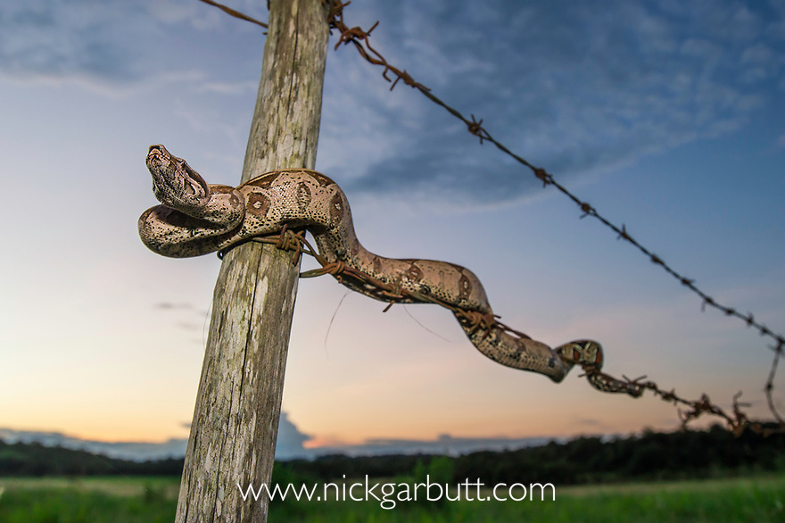 Juvenile Colombian Red-tailed Boa Constrictor (Boa constrictor constrictor) moving along a barbed wire fence. Unamas Reserve and Ranch, Los Llanos, Colombia.