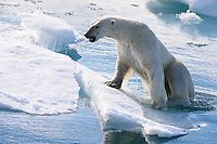 Polar bear (ursus maritimus) sits on an ice floe in the Arctic Ocean, Svalbard, Norway.