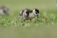 Egyptian Goose (Alopochen aegyptiaca), chick, Hill Country, Central Texas, USA