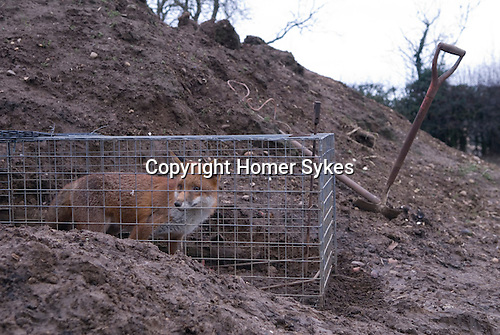 Fox caught in a trap on farm Northamptonshire. England