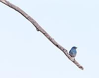 Mountain bluebird males sport deep blue plumage.