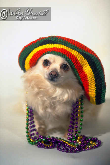 Rasta chihuahua in hat and beads<br />