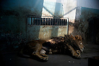 A lion lays motionless on the floor of a small, dirty cage in the lion and tiger house of the Tianjin Zoo in Tianjin, China.