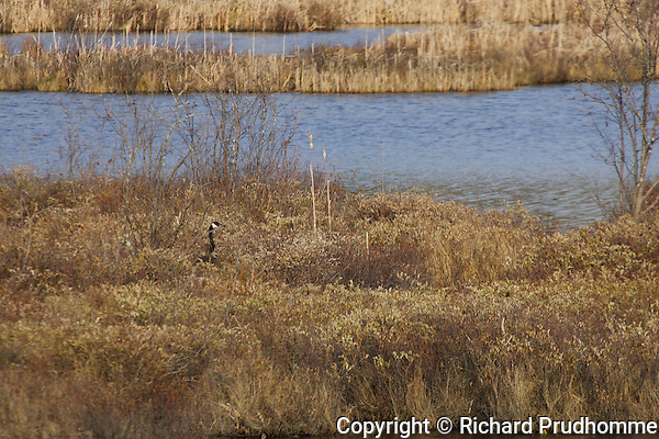 A Canada Goose sitting on a nest hidden by tall dry vegetation in early spring