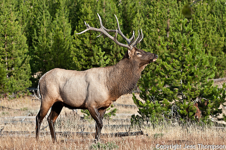 Bull Elk near Madison River in Yellowstone National Park