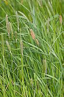 Wiesen-Fuchsschwanz, Wiesenfuchsschwanz, Alopecurus pratensis, meadow foxtail, field meadow foxtail, Common Foxtail