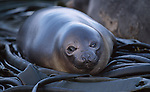 Elephant seal. Macquarie Island Australian Sub Antarctic Islands.