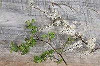 Vergleich zwischen Schlehe und Weißdorn. Schlehe blüht vor Erscheinen der Blätter. Weißdorn bekommt erst Blätter und blüht später. Schwarzdorn, Blüte, Blüten, Prunus spinosa, Blackthorn, Sloe, Epine noire, Prunellier. Eingriffliger Weißdorn, Weissdorn, Weiß-Dorn, Weiss-Dorn, Crataegus monogyna, English Hawthorn, May, Aubépine monogyne