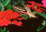 White-Lined Sphinx Moth in flight