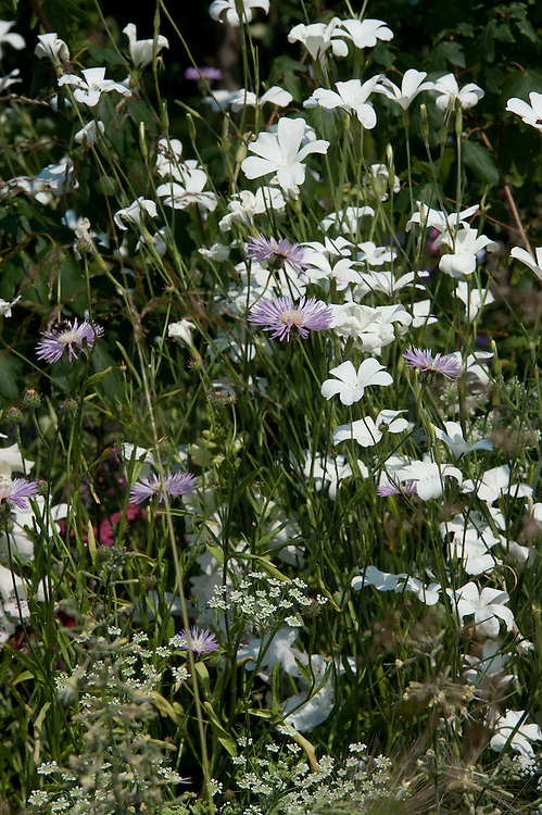 White Agrostemma githago 'Ocean Pearl', Centaurea dealbata (Cornflower) and Ammi major, early July.