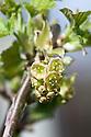 Redcurrant 'Jonkheer van Tets' in flower, late March.