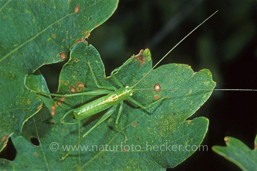 Südliche Eichenschrecke, Männchen, Meconema meridionale, Southern oak bush-cricket, Southern oak bush cricket, male, Tettigoniidae