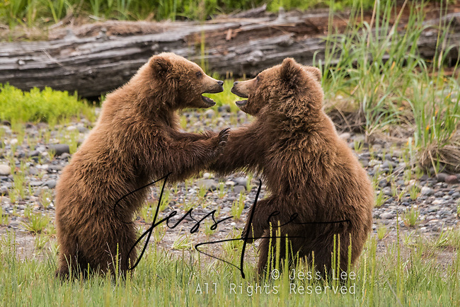 Alaska Brown bears also known as Costal Grizzlies or grizzly bears