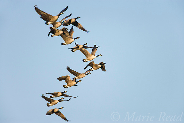 Canada Geese (Branta canadensis) flock in flight, Montezuma National Wildlife Refuge, New York, USA