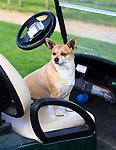 WASSENAAR  (NETH.) - Hondje Hummer , van de hoofd greenkeeper, in een buggy. Golfclub Groendael in Wassenaar. COPYRIGHT KOEN SUYK