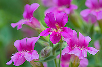 Pink Monkeyflower or Lewis's Monkeyflower (Mimulus lewisii).  Pacific Northwest.  Summer