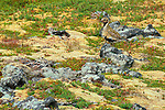 An adult Golden Plover with summer breeding plumage.  Vestur Skaftafells, Iceland.