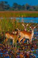 Botswana-Wildlife-Antelopes-Red Lechwe