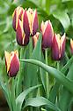 Tulip 'Gavota' (Triumph Group).