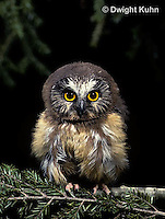 OW02-030z  Saw-whet owl - immature sitting on branch - Aegolius acadicus