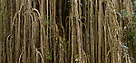 Giant Fig Tree in the Wet Tropics. Stitched panoramic