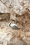Western Rock Nuthatch, Sitta n.zarudnyi, Lesvos Island, Greece, at nest hole, camouflaged on rock , lesbos