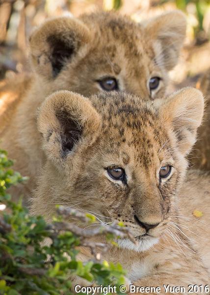 Twin Lion Cubs  Kenya 2015