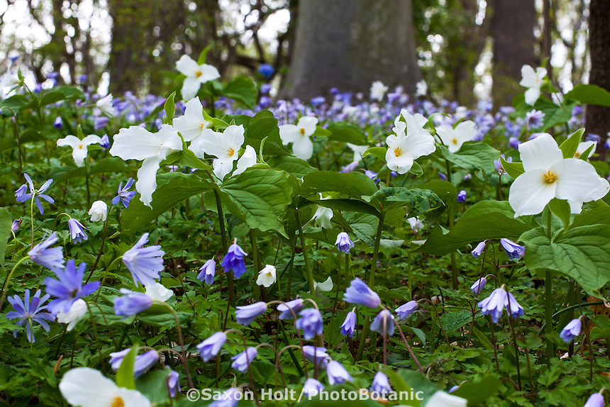 Trillium grandiflorum, Great White Trillium flowering with Anemone apennina (Italian Windflower), woodland spring ephemeral groundcover - Winterthur Garden