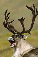 Barrren ground caribou bull yawning (Rangifer tarandus).Alaska