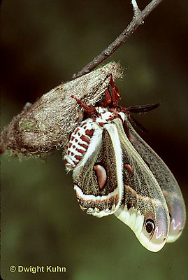 LE03-010x  Cecropia Moth - adult emerging from cocoon - Hyalophora cecropia