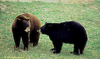 MA01-139z  Black Bear - brown phase and black phase - Ursus americanus