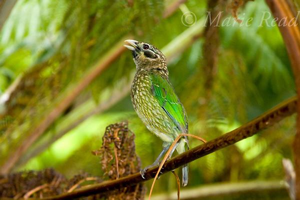Spotted Catbird (Ailuroedus crassirostris) calling, Lake Eacham, Queensland, Australia.
