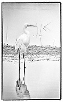 American Egret, Photographed on TMAX 3200 black and white film, Merritt Island, Florida, 1995, (Photo by Brian Cleary/bcpix.com)