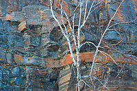 White birch (Betula papyrifera) tree and rock face of Precambrian Shield<br />
