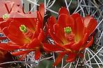 Claret Cup Hedgehog cactus (Echinocereus triglochidiatus) White Sands National Monument, New Mexico