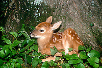 White tailed deer fawn sleeping at base of tree in garden, Missouri