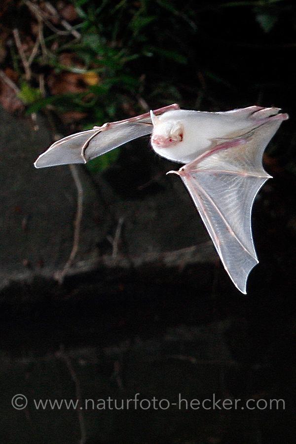 Wasser-Fledermaus, Wasserfledermaus, Albino,  Albinismus, im Flug bei der Jagd, Flugbild, Myotis daubentoni, Myotis daubentonii, Daubenton's bat